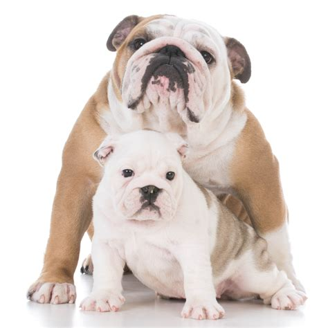 best food for puppies best food for bulldog us bones