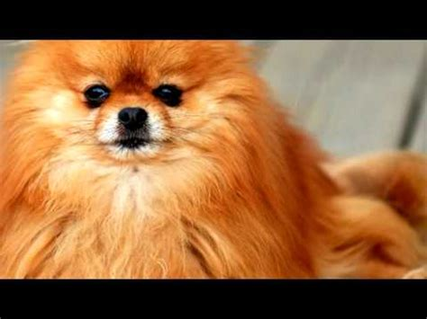 how to groom a pomeranian puppy pomeranian care funnydog tv