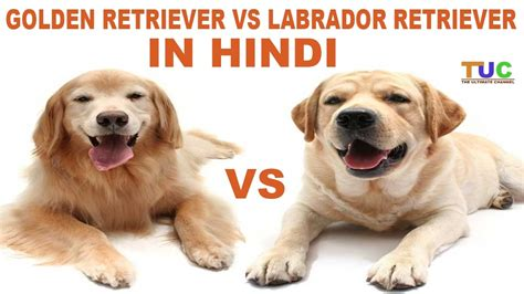 compare golden retriever and labrador retriever labrador retriever vs golden retriever in comparison the ultimate