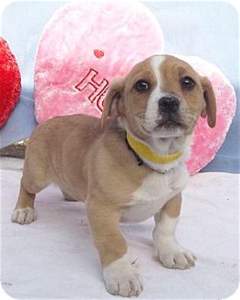 corgi puppies chicago west chicago il corgi bulldog mix meet menard a for adoption