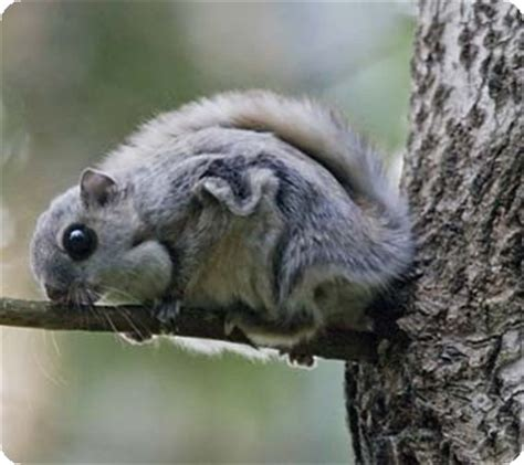 the news for squirrels squirrel facts the siberian