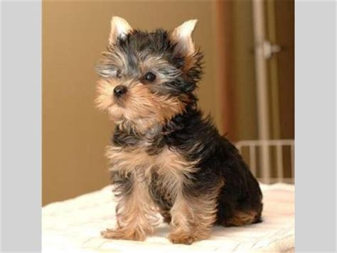 alabama yorkie breeders pets birmingham al free classified ads
