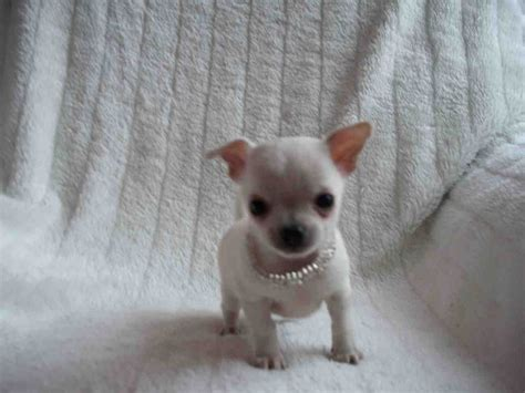chihuahua puppies teacup chihuahua puppies manchester greater manchester pets4homes