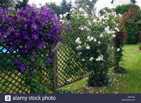 climbing plants perth flowering clematis x jackmanni and climbing