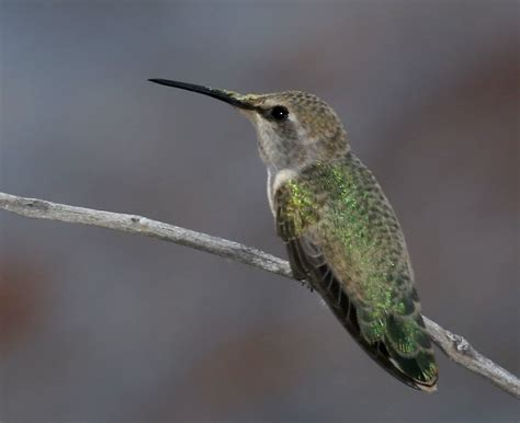 california humming birds