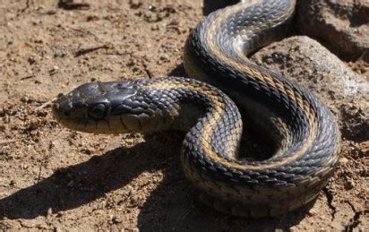 snake bites python for pentesters crisis as scarcity of anti venom hits nigeria 6 die from