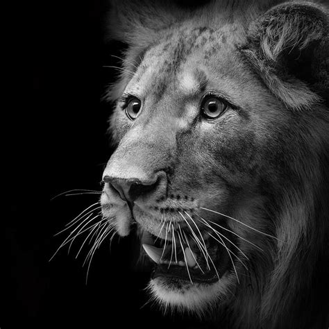 vision wallpaper black and white portrait of lion in black and white ii photograph by lukas