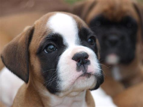 puppy boxers for sale boxer puppies for sale in ipswich suffolk uk boxer puppy and dogs on puppy planet