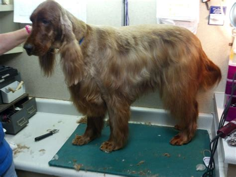 irish setter dog grooming irish setter groom page naju quot the fun place for your