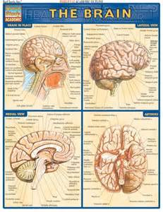 brain quickstudy 174 complete labeled illustrations of the