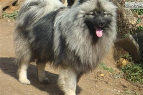 keeshond puppies for sale near me keeshond puppy for sale near knoxville tennessee 18248fcf 2481