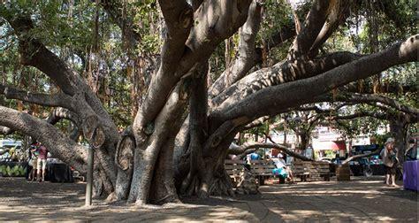 lighting of the banyan tree lahaina lahaina banyan tree