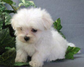 cagnolino piccolo da appartamento vendita cuccioli maltese lo scodinzolo