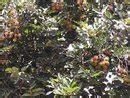 Bibit Rambutan Zainal Mahang bibit rambutan buah buah impian