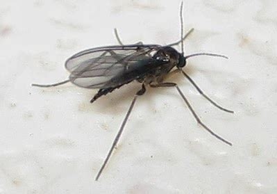 gnats in my house how to get rid of gnats fast