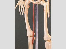 Gracilis | Feets of Clay Frontalis Muscle Origin Insertion Action