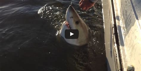 hilton head great white shark tracking sharks