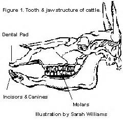 cow teeth diagram nutrition and feeding of the cow calf herd digestive