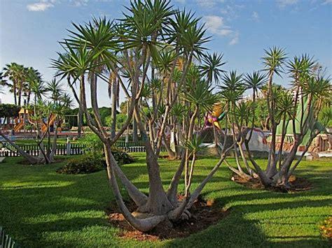 Areca Palm planta yuca elefante tudo sobre a esp 233 cie flores