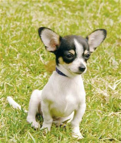 perros peque os para apartamentos perros para apartamentos pequenos related keywords
