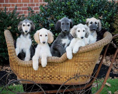 afghan puppies adorable afghan hound
