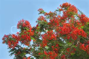 Flowering Tropical Shrubs - blossoming tropical tree royal poinciana with beautiful red flowers stock photo colourbox