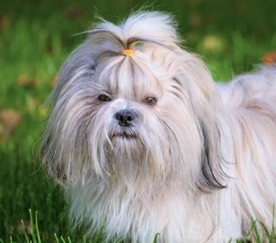 shih tzu habits shih tzu breed information pictures and facts petcoach