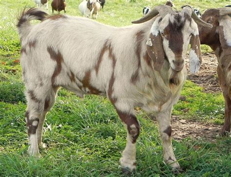 boer goat bucks for sale in kentucky from run creek