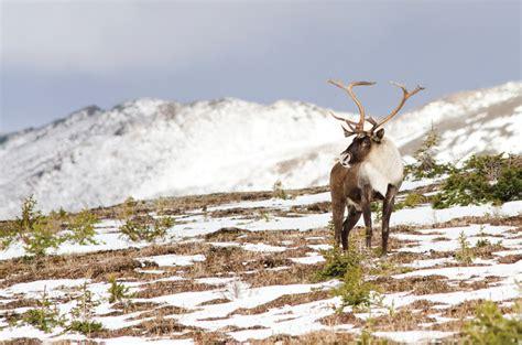 Prairie Home Plans caribou reintroduction plans put on hold jasper s source