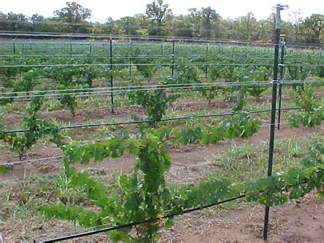 Grape Trellis Systems pin by dwyer on nature inspirations