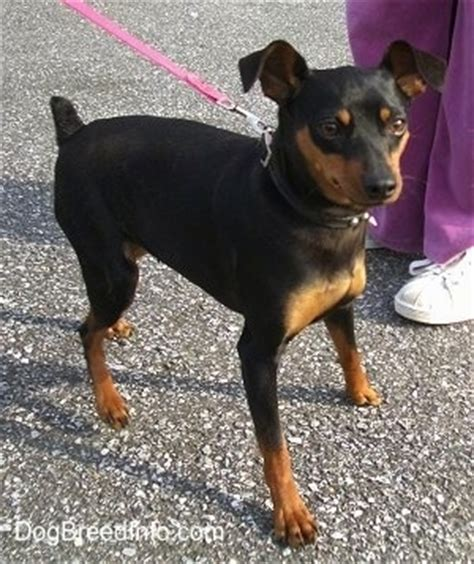 min pin images miniature pinscher breed information and pictures