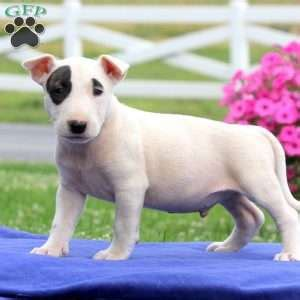 bull terrier puppies for sale in pa bull terrier puppies for sale in pa