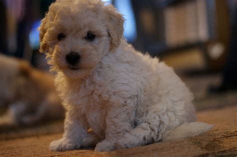 coton de tulear puppies for adoption coton de tulear x poodle puppies for sale romford essex pets4homes