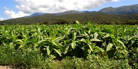 how to grow tobacco how to grow stuff