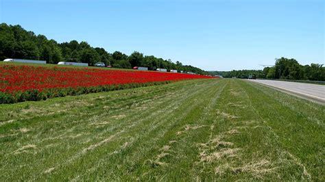 north carolina dot plants red poppies  honor world war