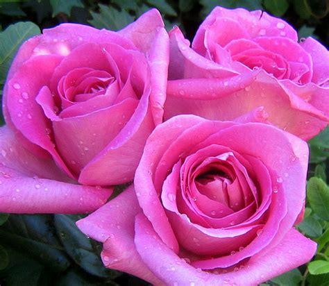 3 roses flickr photo sharing