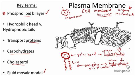 plasma membrane structure  function youtube