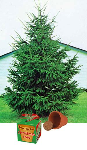 grow your christmas tree company in ca grow your own tree traditional gift review compare prices buy
