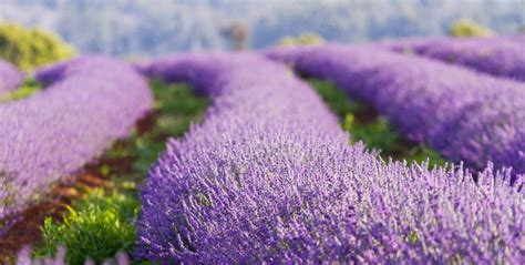 tasmania lavender fields ross garden tours