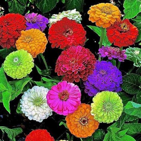 Benihbijibibit Bunga Tulip Bi Colour cara menanam bunga dahlia dari biji hingga berbunga
