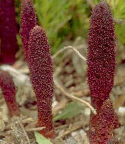 Suo Yang Ekstrak Songaria Cynomorium Herb Herba Cynomorii Extract research update cynomorium songaricum