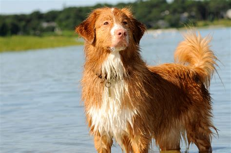 scotia duck tolling retriever puppies scotia duck tolling retriever info puppies mix pictures