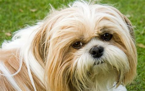 shih tzu coats shih tzu shedding explored do shih tzu shed