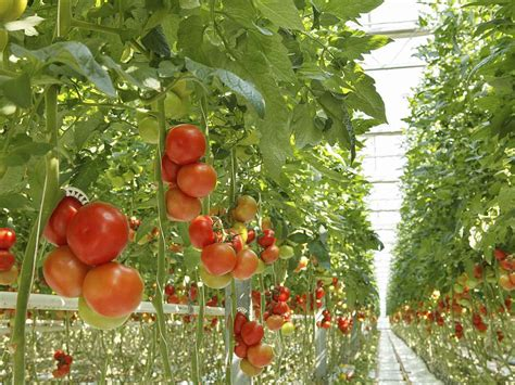 gardening picture best tomato varieties to grow at home saga
