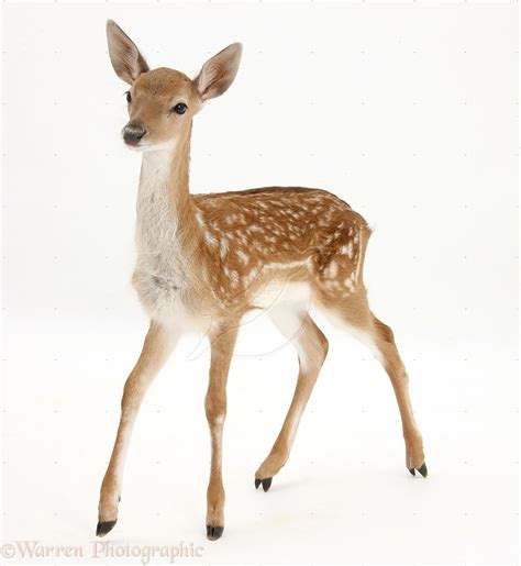 Deer With by Deer Pictures Search