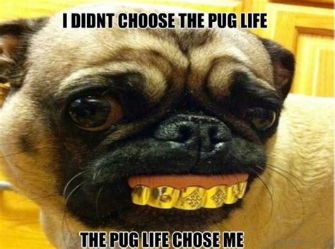 pug chose me 88 superb pug memes pictures