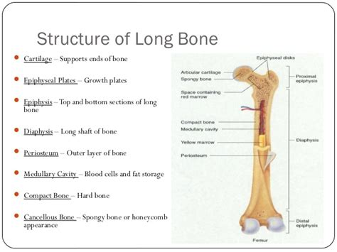middle section of a long bone body systems livebinder