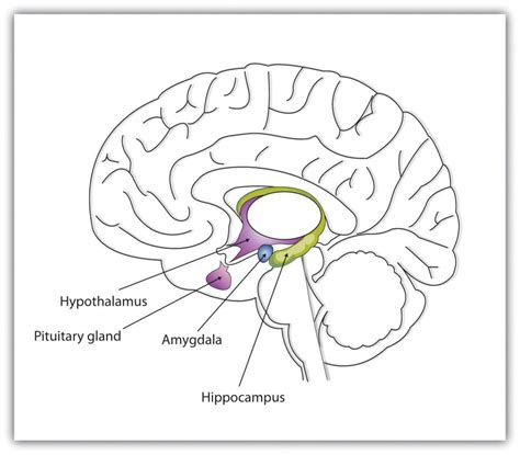 limbic system diagram 4 2 our brains our thoughts feelings and