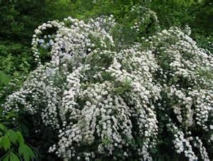 Short Flowering Shrubs - 3 spiraea nipponica snowmound masses of white flowers 2l pots