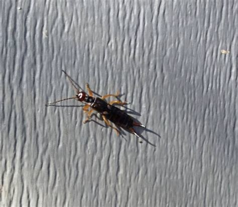 earwigs in bathroom pincher bugs in house pictures to pin on pinterest pinsdaddy